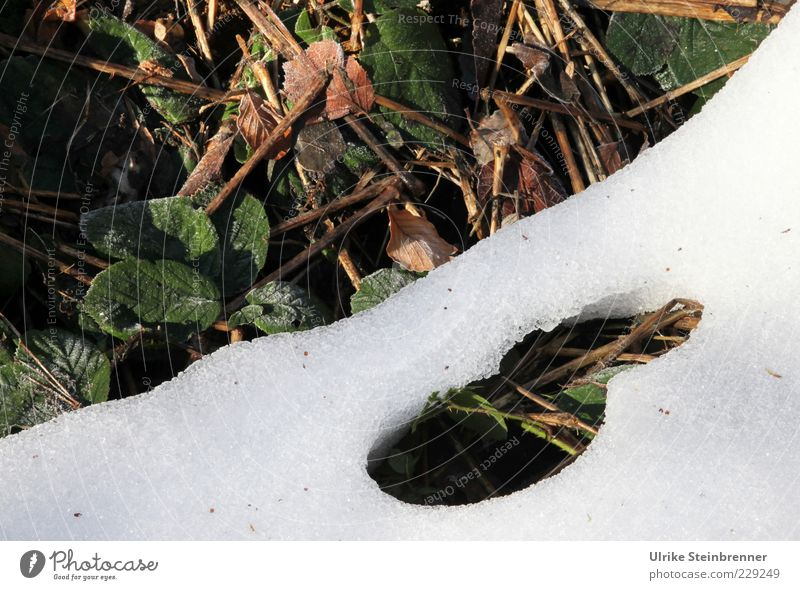 breakthrough Environment Nature Plant Spring Winter Beautiful weather Snow Leaf Wild plant Cold Brown Green White Change Thaw Ground Melt Snow melt Snow layer