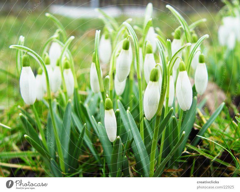 spring awakening Snowdrop Spring Flower