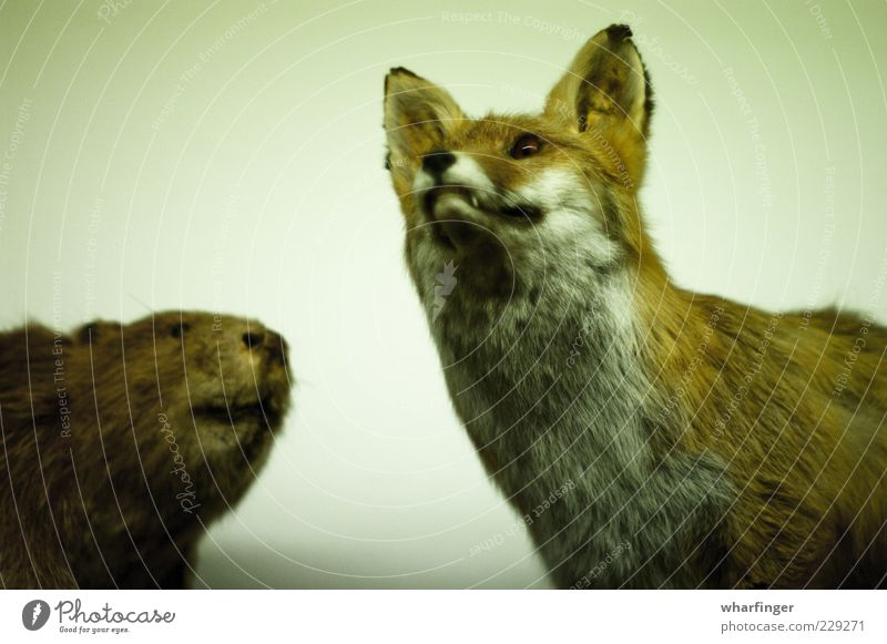 Fox and beaver Animal Wild animal Dead animal 2 Esthetic Together Cuddly Brown Green White Bizarre Expectation Colour Nature Nostalgia Whimsical Environment