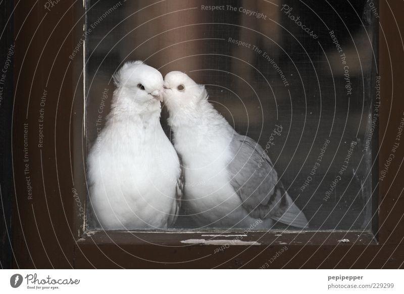 window love story Window Animal Farm animal Bird Pigeon 2 Pair of animals Wood Glass Rutting season Touch Crawl Kissing Love Sit Dream Brown Gray White Happy