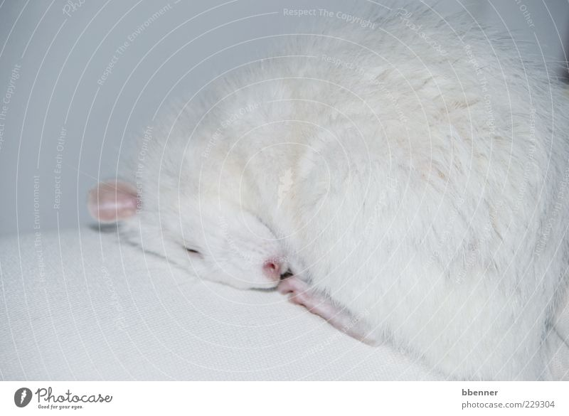 Luca Well-being Contentment Relaxation Calm Sofa White-haired Short-haired Pet Pelt Paw Rat 1 Animal Sleep Cute Clean Soft Trust Safety (feeling of)