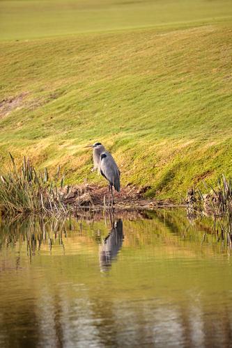 Great blue heron bird, Ardea herodias Man Relaxation Animal Adults Coast Lake Bird Wild Wild animal USA Wing Marsh Zen Heron Florida