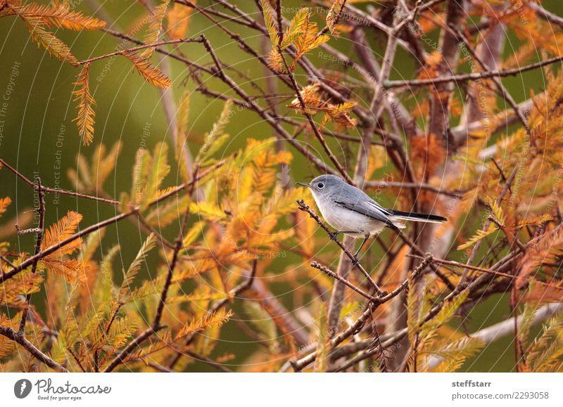 Grey catbird Dumetella carolinensis Nature Animal Tree Bird 1 Wild Gray Gray catbird grey catbird Florida Naples US bird avian gray bird grey bird small bird