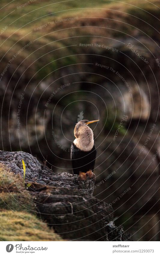 Male Anhinga bird called Anhinga anhinga Man Adults Nature Animal Coast Pond Lake River Bird 1 Sit Nest Nest-building snakebird avian Feather plume Beak