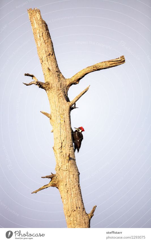 Male pileated woodpecker bird Dryocopus pileatus Nature Man Tree Red Animal Black Adults Bird Marsh Nest Florida Hole Woodpecker Wetlands Naples