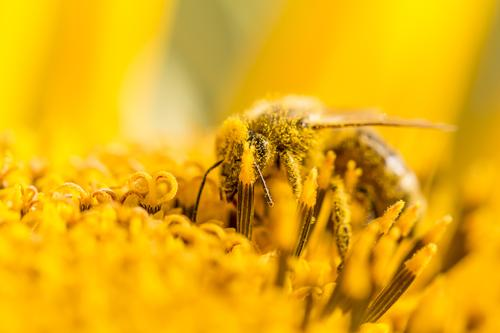 Bee pollinates pollen and collects nectar on nature sunflower Summer Sun Sunbathing Body Head Environment Nature Animal Sunlight Spring Autumn Climate