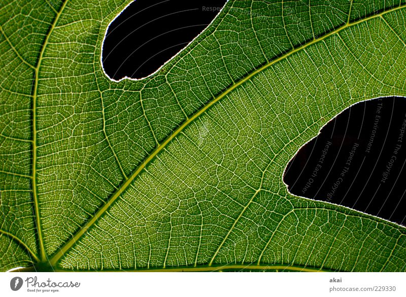 The sheet 34 Nature Plant Leaf Green Black Fig leaf Structures and shapes Colour photo Studio shot Detail Flash photo Rachis Leaf green Deserted 1