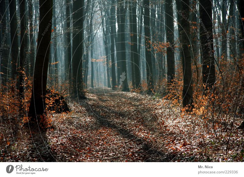 noch´ n forest Environment Nature Autumn Winter Climate Climate change Beautiful weather Tree Leaf Forest Growth Footpath Branchage Woodground Forest road