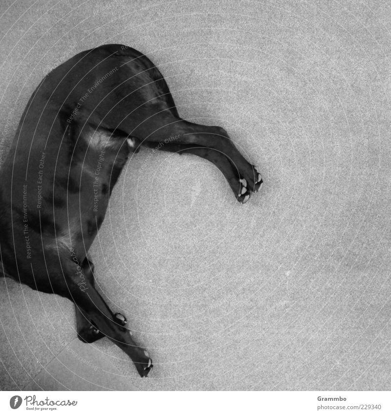 Black Animal Relaxation Gray Dog Legs Lie Break Pet Tilt Black & white photo Restful Headless Bird's-eye view