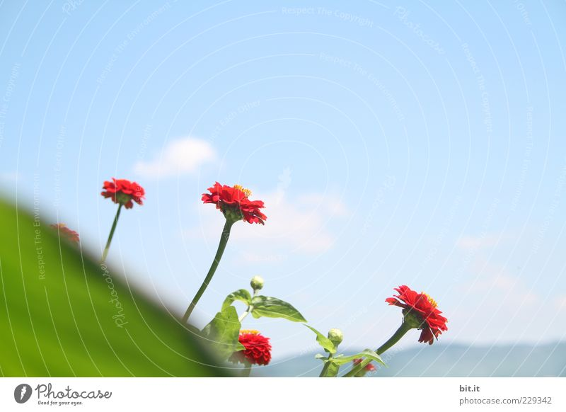 Sky Plant Red Flower Summer Leaf Clouds Blossom Spring Perspective Blossoming Beautiful weather Bouquet Joie de vivre (Vitality) Fragrance Exotic