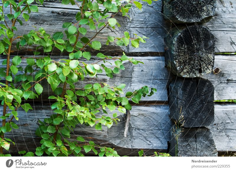 Free of additives Nature Plant Hut Wood Growth Old Sustainability Natural Dry Green Loneliness Wooden house Birch tree Colour photo Subdued colour Exterior shot