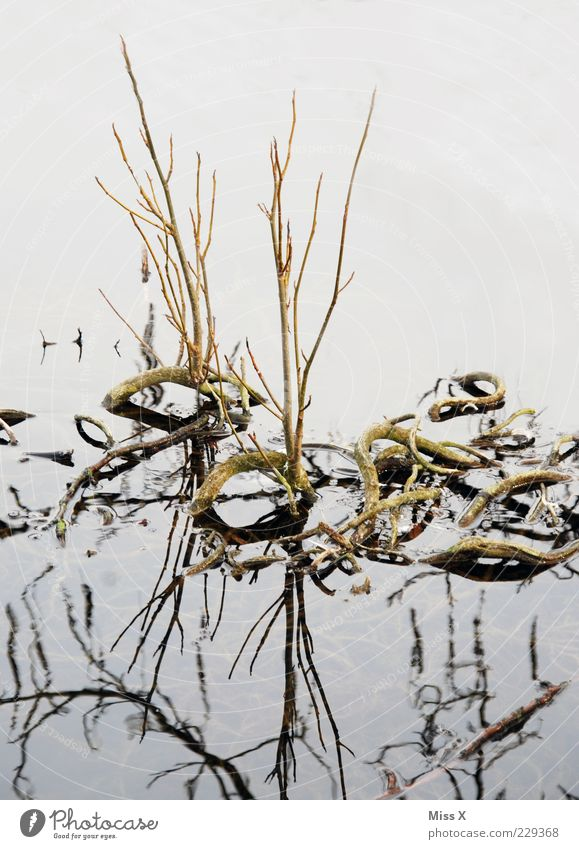 snakes Water Winter Plant Lakeside Bog Marsh Pond Growth Curved Bend Root Aquatic plant Branch Shoot Root formation Colour photo Subdued colour Exterior shot
