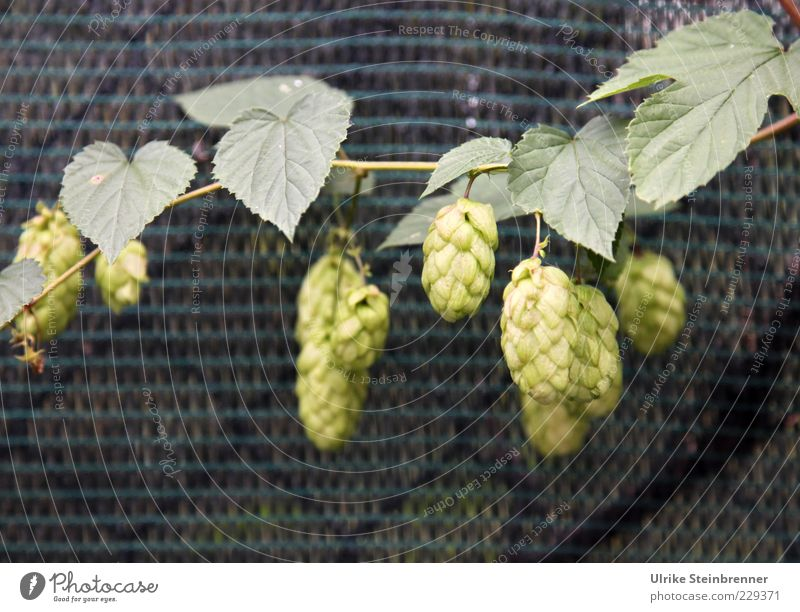 Nature Green Plant Environment Fruit Growth Mature Hang Hop Creeper Agricultural crop Purity law
