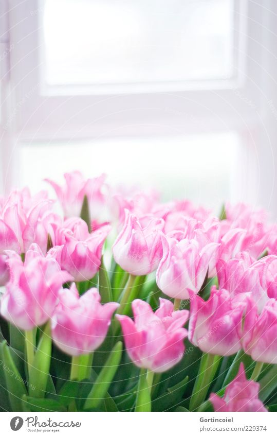 Green Flower Leaf Window Blossom Happy Spring Pink Fresh Happiness Delicate Stalk Bouquet Tulip Shaft of light Spring flower