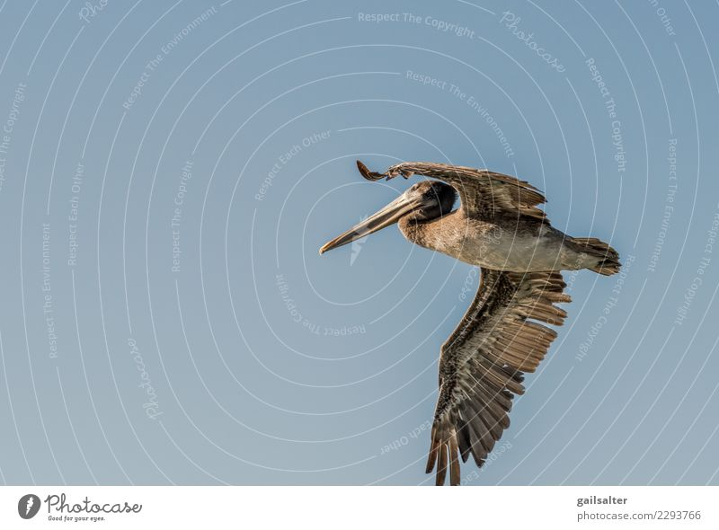 Brown Pelican Flying in a Blue Sky Close Up Nature Summer Animal Movement Bird Wild animal Large Cloudless sky Sea bird