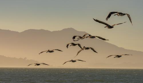 A Flying Flock of Brown Pelicans at Dusk Nature Landscape Animal Water Sky Summer Hill Waves Coast Wild animal Bird Group of animals Movement Vacation & Travel