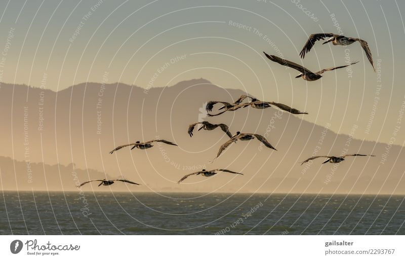 A Flying Flock of Brown Pelicans at Dusk Sky Nature Vacation & Travel Blue Summer Beautiful Water Landscape Animal Coast Movement Freedom Bird Waves Wild animal