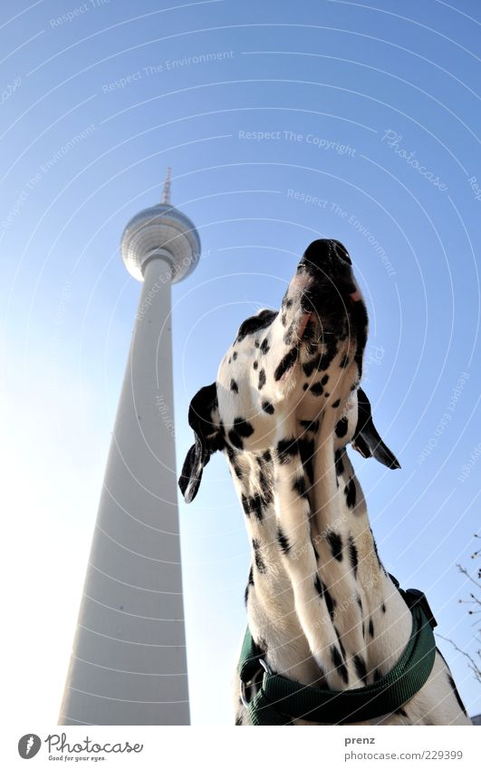 Dalmatian Animal Pet Dog 1 Thin Black White Far-off places Purebred dog Tower Television tower Berlin Alexanderplatz Downtown Berlin Tourist Attraction Sky Head