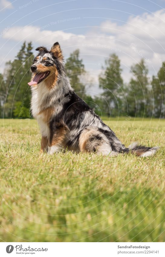 A beautiful Australian Shepherd playing outside Style Joy Summer Environment Nature Landscape Plant Animal Spring Garden Park Meadow Field Pet Dog 1 Sit Free
