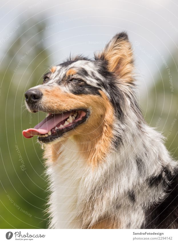 A beautiful Australian Shepherd playing outside Style Joy Summer Environment Nature Landscape Garden Park Meadow Animal Dog 1 Friendliness Happiness Natural