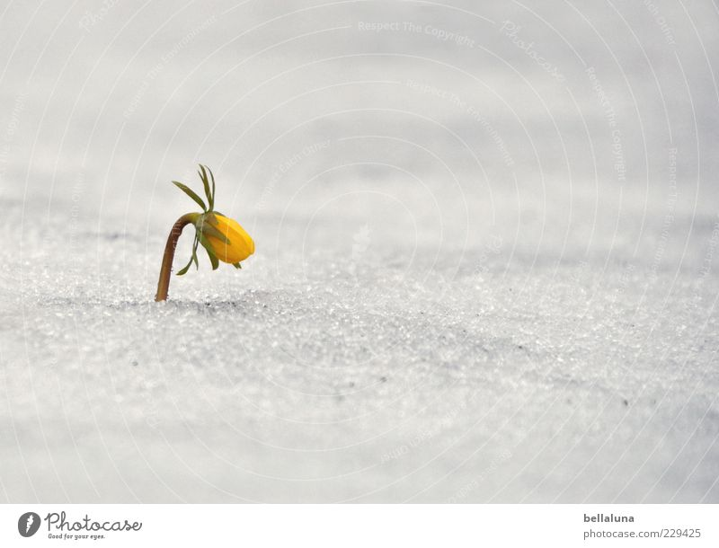 Nature White Beautiful Plant Flower Yellow Snow Blossom Spring Bright Weather Ice Growth Frost Bud Endurance
