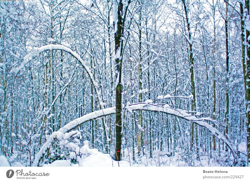 Fantastically elastic - even in frosty weather Winter Snow Nature Plant Ice Frost Forest Growth Esthetic Thin Brown White Tree Tension snow-laden Elastic