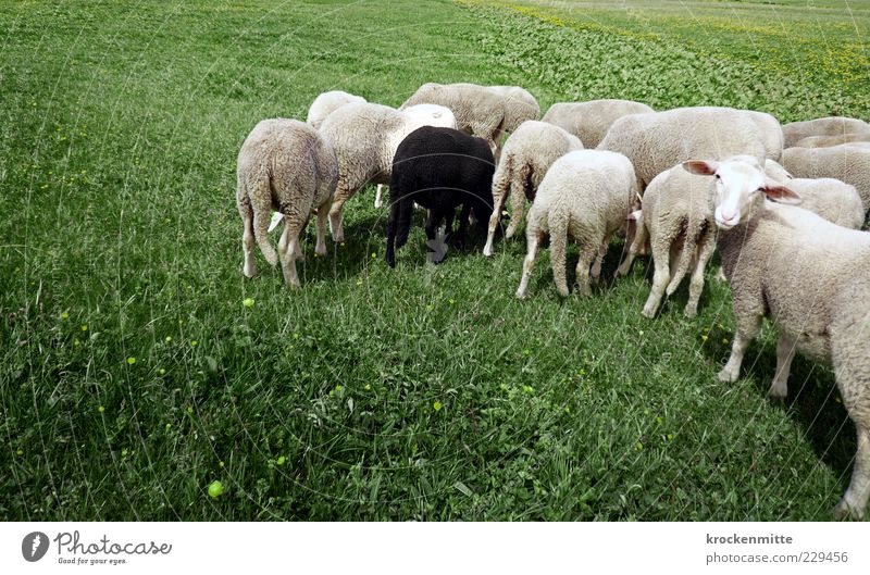 enough grass for everyone Environment Nature Landscape Foliage plant Meadow Animal Farm animal Sheep Group of animals Herd Sign Green Black White
