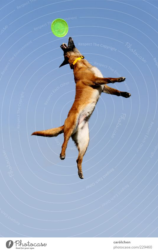 Dog Blue Animal Playing Jump Brown Healthy Action Catch Fitness Joie de vivre (Vitality) Dynamics Pet Blue sky Stretching Leisure and hobbies