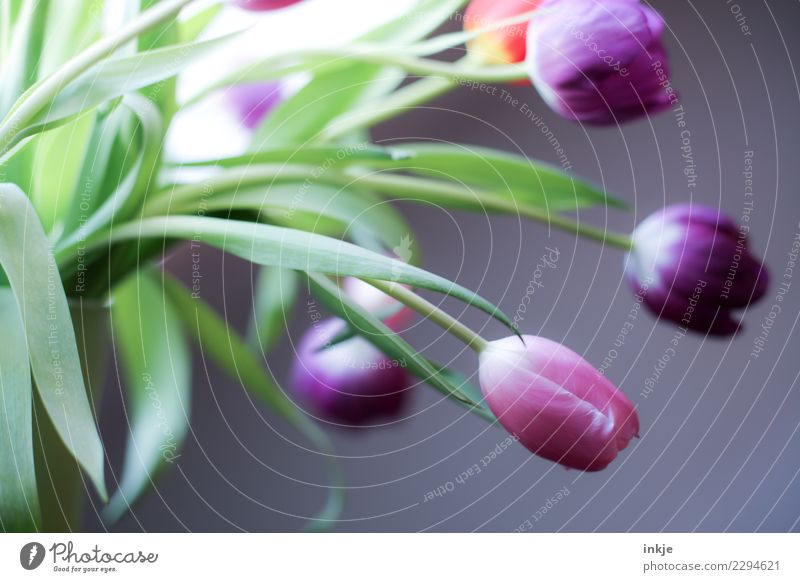 a tulip picture Spring Tulip Blossom Bouquet Blossoming Authentic Fresh Natural Green Violet Pink Moody Spring flower Colour photo Interior shot Close-up Day