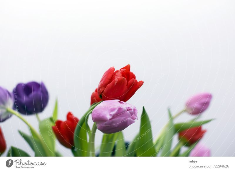 a tulip picture Spring Flower Tulip Blossom Bouquet Blossoming Authentic Fresh Natural Green Violet Pink Red Moody Free space Spring flower Spring fever