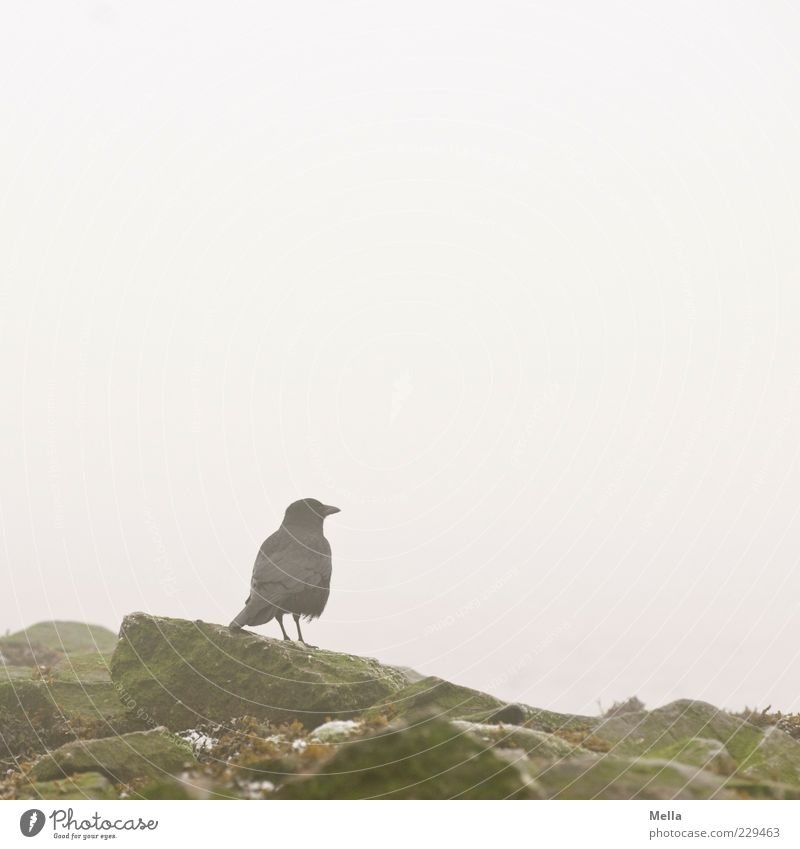 waiting Environment Nature Fog Rock Animal Bird Crow 1 Stone Stand Free Natural Gloomy Gray Calm Colour photo Subdued colour Exterior shot Deserted