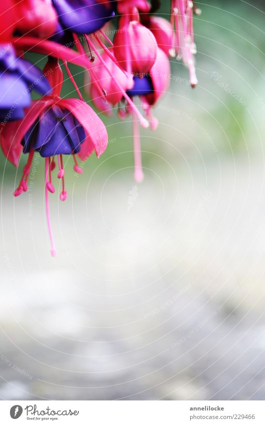 Beautiful Plant Blossom Pink Violet Blossoming Exotic Blossom leave Flower Pot plant Fuchsia Fuchsia flower