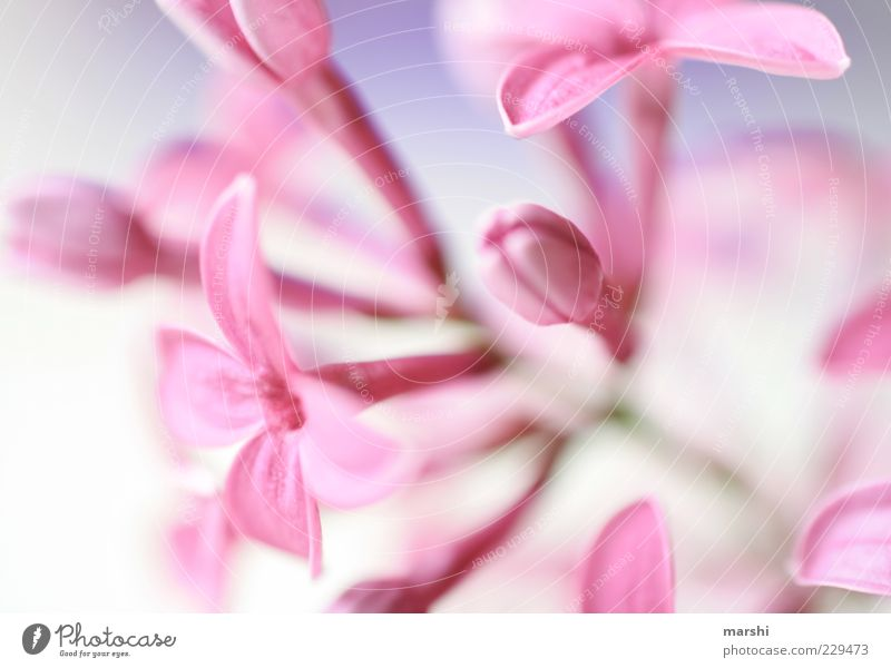 A hint of spring Nature Plant Blossom Pink Lilac Blossoming Flower stem Blur Spring Spring flower Exterior shot Detail Macro (Extreme close-up) Deserted Calyx