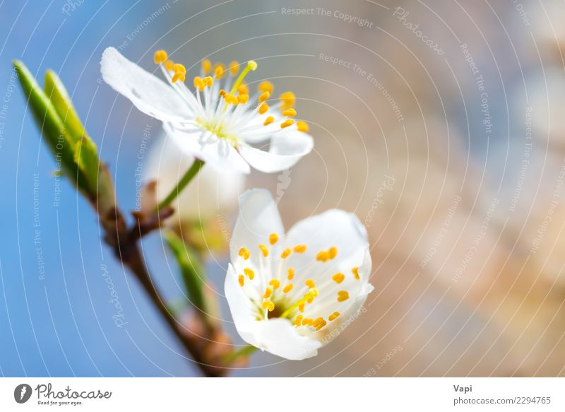 Spring blossoming white spring flowers on a plum tree Apple Beautiful Garden Gardening Environment Nature Plant Air Sky Sunlight Tree Flower Leaf Blossom