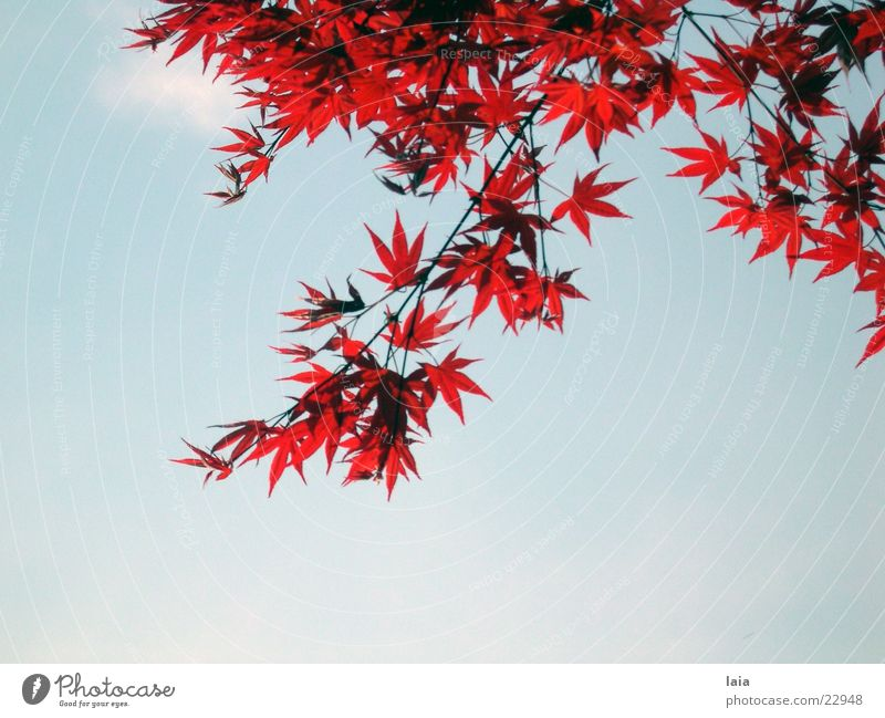 Sky Tree Blue Red Leaf Clouds