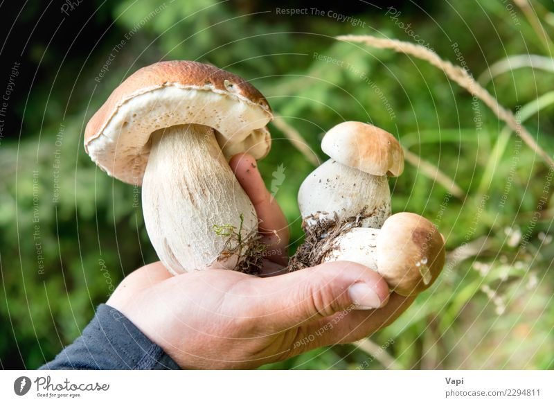 Edible fresh mushrooms boletus edulis in a hand Food Vegetable Herbs and spices Eating Organic produce Vegetarian diet Diet Leisure and hobbies