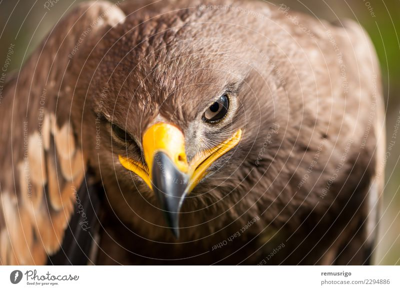 Close-up of a Steppe Eagle Hunting Nature Animal Bird Beautiful Wild Brown accipitriformes Beak Carnivore chordata Living thing endangered falconry Feather fly