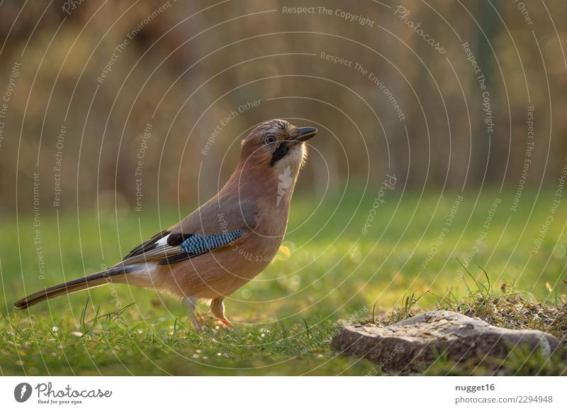 jays Environment Nature Animal Meadow Wild animal Bird Animal face Wing Jay 1 Rutting season To feed Feeding Esthetic Authentic Exceptional Brash Friendliness