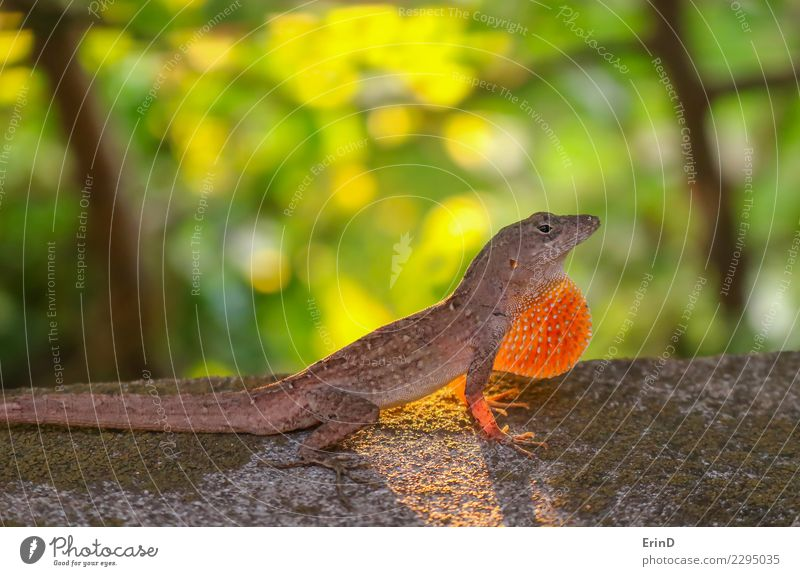Anole Lizard Profile with Dewlap Extended Glowing in Sunlight Nature Beautiful Green Animal Natural Small Feet Bright Skin Threat Living thing Virgin forest