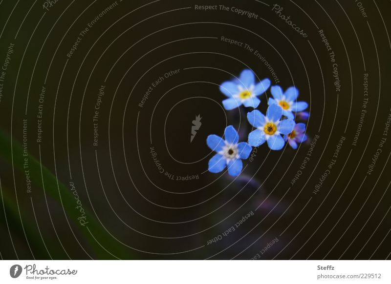 just forget-me-nots Nature Plant Spring Summer Flower Blossom Wild plant Forget-me-not Flowering plant Blossom leave Small Blue Spring fever Romance Uniqueness