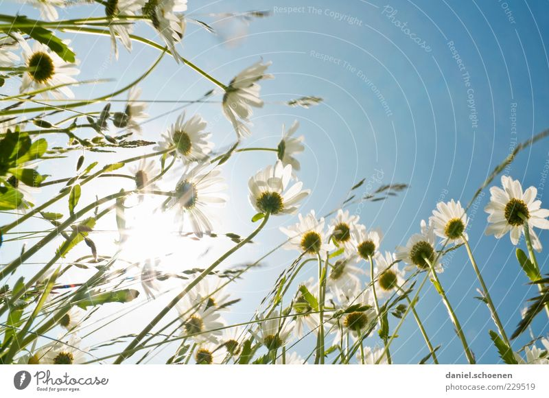 let the sun shine ... Plant Sky Cloudless sky Sun Sunlight Spring Summer Beautiful weather Flower Grass Blossom Meadow Blue White Marguerite Flower meadow Light