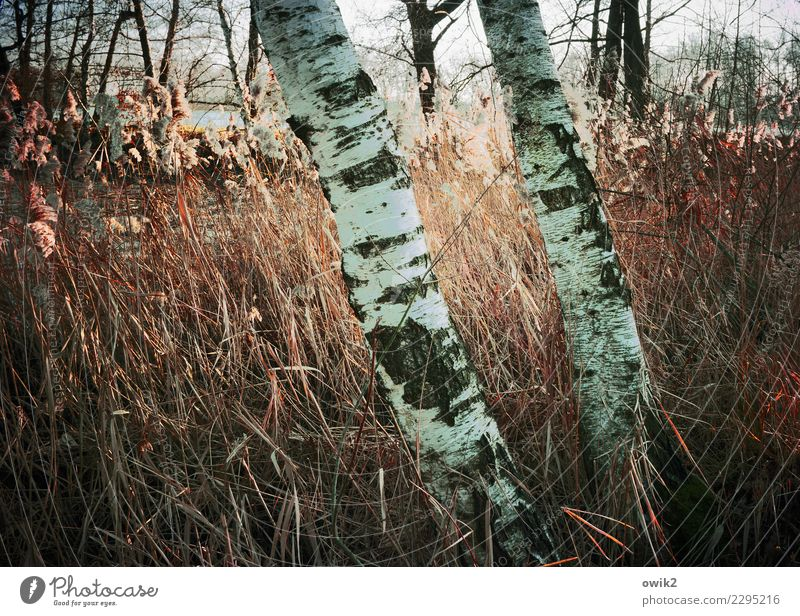 through thick and thin Environment Nature Landscape Plant Beautiful weather Birch tree Tree trunk Tree structure Birch bark Reeds Blade of grass Wood Stand
