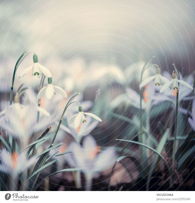 Spring flowers Nature Design Garden Plant Beautiful weather Fog Flower Leaf Blossom Park Meadow Field Blossoming Background picture Snowdrop Crocus Close-up