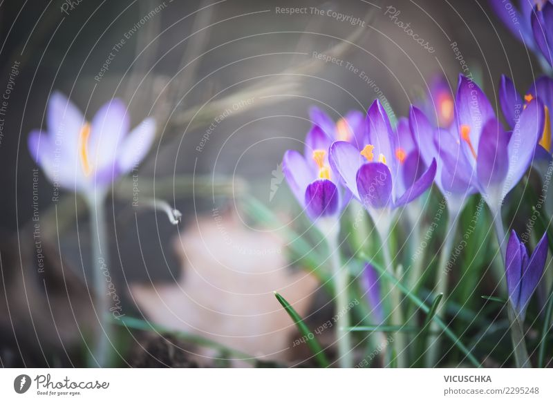 Pretty crocus flowers Design Garden Nature Plant Spring Flower Leaf Blossom Park Blossoming Background picture Beautiful Crocus Violet Colour photo