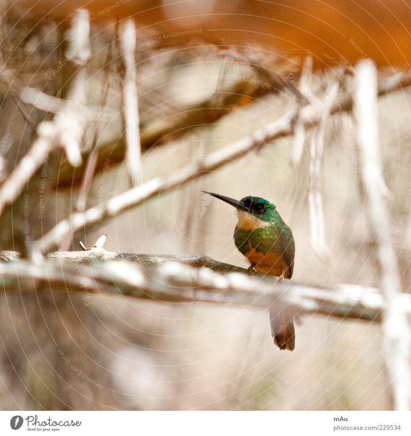 Nature Green Beautiful Animal Small Brown Bird Sit Branch Beak Hummingbirds