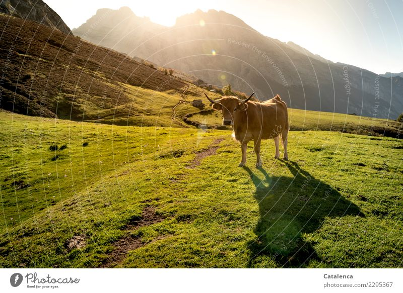 light bath Nature Landscape Summer Beautiful weather Grass Bushes Meadow Rock Mountain Lanes & trails Farm animal Cow 1 Animal Observe To enjoy Authentic Brown