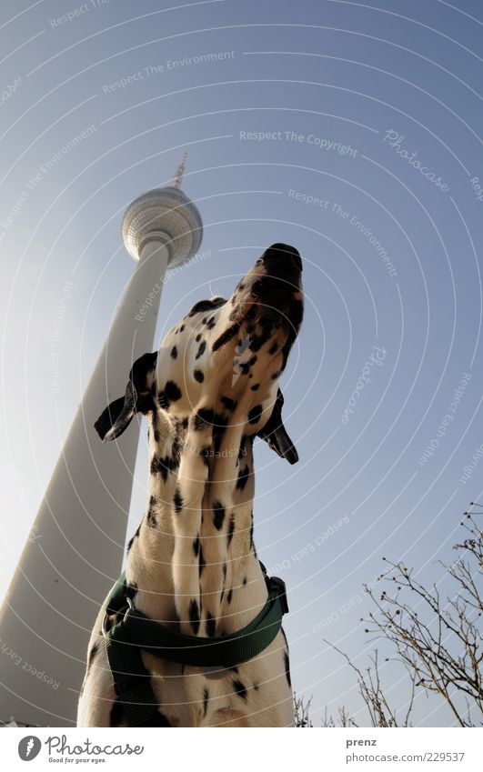 television tower Animal Air Sky Cloudless sky Town Capital city Deserted Tower Architecture Pet Dog 1 Blue Black White Dalmatian Head Ear Dog collar Tall