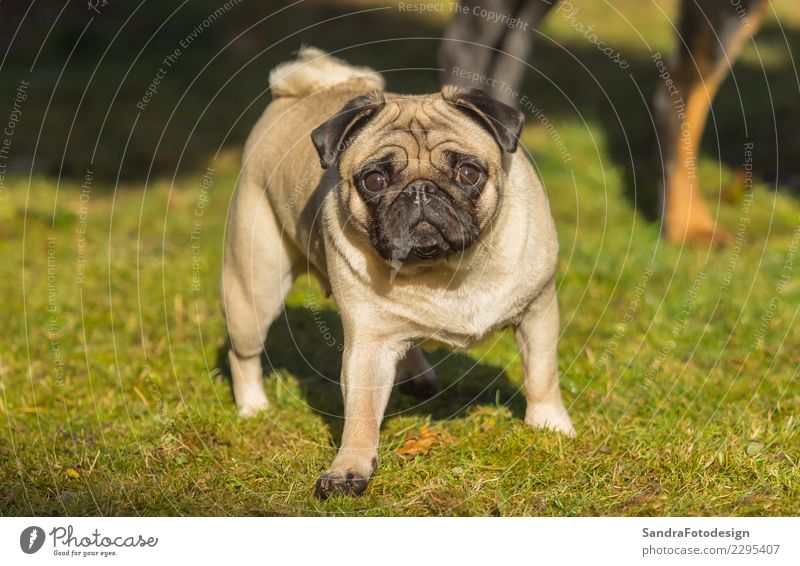 A beautiful pug stands in the meadow Joy Summer Nature Landscape Plant Animal Garden Park Meadow Pet Dog 1 Feeding Going Listening Smiling Laughter Walking