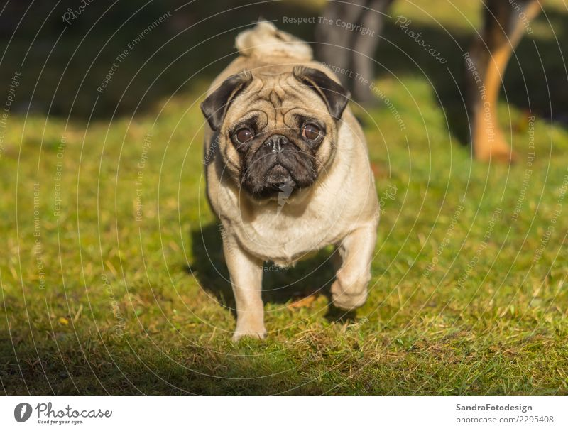 A beautiful pug stands in the meadow Joy Summer Nature Landscape Plant Animal Garden Park Meadow Pet Dog 1 Going Smiling Laughter Walking Study Brash