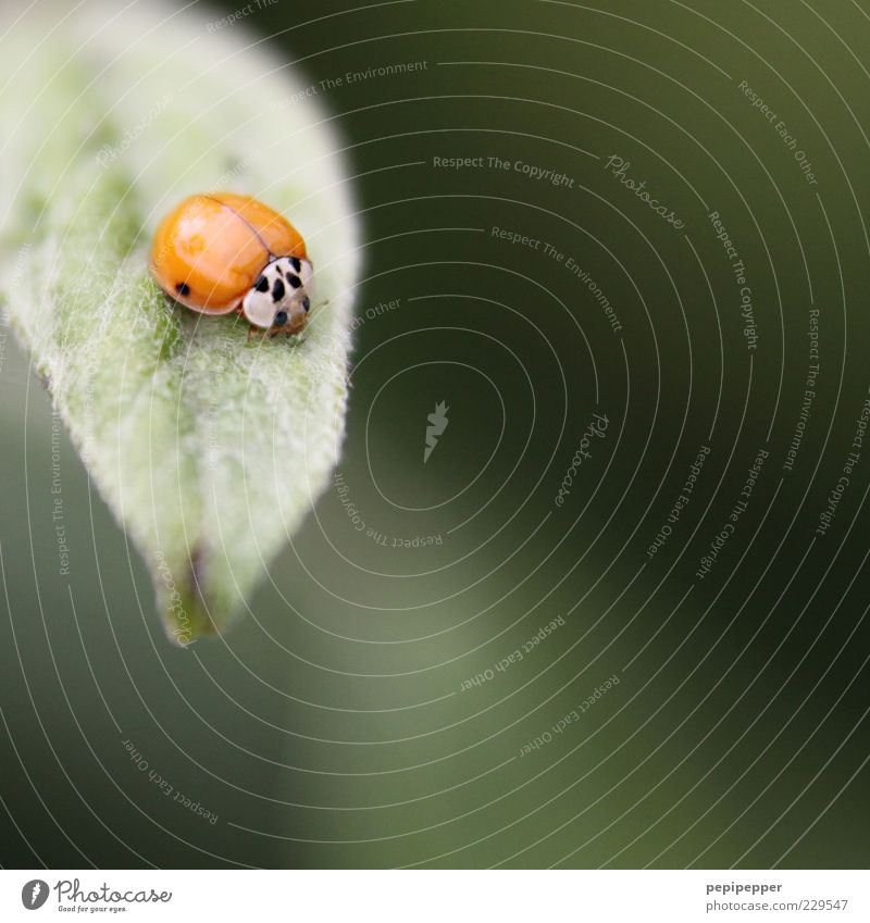 the points have to be earned first Plant Leaf Animal Farm animal Beetle 1 To feed Green Red Ladybird Colour photo Exterior shot Close-up Detail